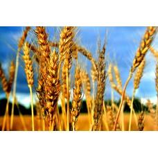 Пшеница Фуражная 5й класс. 40 кг.